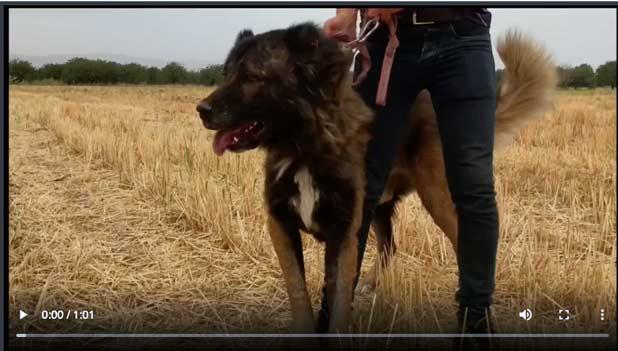 ویدیو سگ سرابی جنگ سگ سرابی