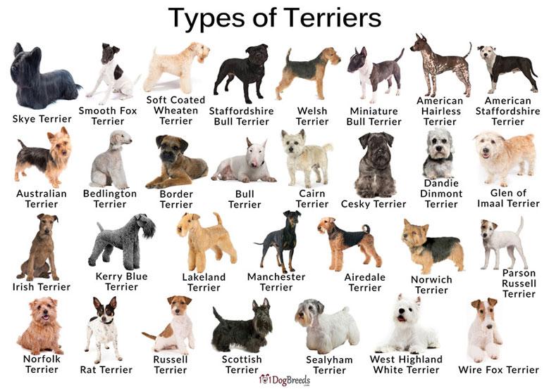 انواع سگ تریر