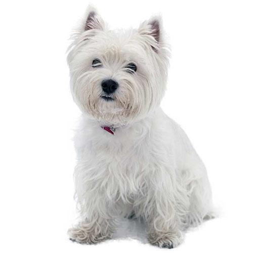 سگ تریر وست وایت هایلند