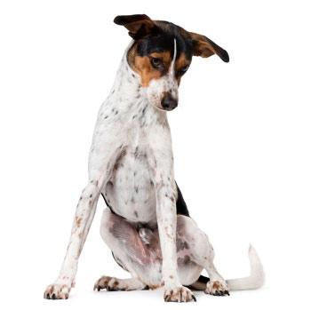 سگ تریر اسپانیایی