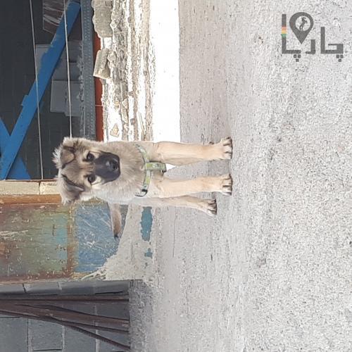 واگذاری رایگان سگ کرج چارپا اولین بازار حیوانات ایران